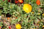 picture of opium  - blurry defocused image of yellow opium flower for background - JPG