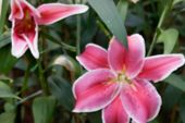 foto of lilly  - blurry defocused image of blooming pink lilly in flowerbed in the garden for background - JPG
