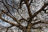 picture of canopy  - Tree canopy near Thatbyinnyu temple Bagan Myanmar - JPG
