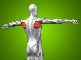pic of triceps brachii  - Concept or conceptual 3D back human anatomy or anatomical and muscle on green gradient background - JPG