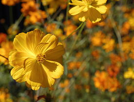 picture of cosmos flowers  - Yellow Field Of Cosmos - JPG