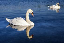 picture of kensington  - Swans on the Round Pond in Kensington Gardens London - JPG