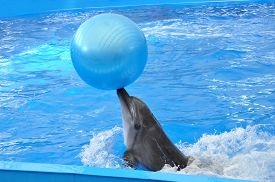 foto of bottlenose dolphin  - bottlenose dolphin in blue water with blue ball - JPG