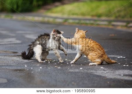 poster of Street cat are fighting on the street. Orange and white gray wet cat are fighting on the road. Wild cat. Aggressive cat on the street. A dirty cat. Cat hair after a fight. Scary cat in the yard