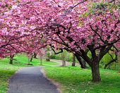 foto of cherry blossoms  - Cherry Blossom Path - JPG