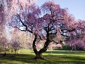 pic of cherry blossoms  - Cherry Blossom Forest - JPG