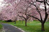 pic of cherry-blossom  - Cherry Blossom Walk - JPG