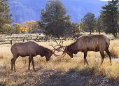 picture of musky  - territorial battle between two bull elk during rutting season in Yellowstone  - JPG