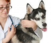 Veterinarian vaccinating husky dog on white background poster