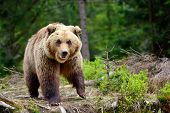 European Brown Bear In A Forest Landscape At Summer. Big Brown Bear In Forest. poster