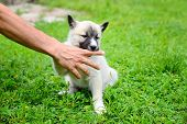 A Beautiful Siberian Laika Puppy Playfully Gnaws His Hand poster