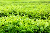 Постер, плакат: Чайные плантации Камерон Хайлендс Малайзия