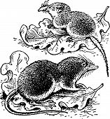 stock photo of shrew  - Two shrews sitting on the leaves on the ground - JPG