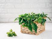 Basket Of Fresh Stinging Nettle Leaves On White Wooden Table. Nettle Leaf With Copy Space. Horizonta poster