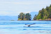 image of whale-tail  - Humpback whale near Vancouver Island - JPG