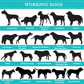 Set Of 20 Working Dogs. Vector Set Of Hounds Breeds Dogs Standing In Profile. Isolated Dogs Breed Si poster