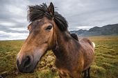 Icelandic Horse In Scenic Nature Of Iceland. poster
