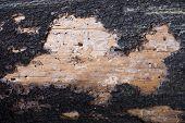 Burnt Tree Bark. Closeup Of Partially Burnt Tree Bark poster