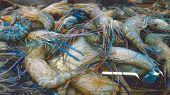 Fresh Shrimp. Fresh Shrimp In The Market, Fresh Shrimp Background And Close-up poster
