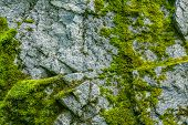 Moss On A Rock Face. Relief And Texture Of Stone With Patterns And Moss. Stone Natural Background. S poster