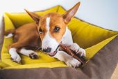 Closeup Portrait Cute Basenji Puppy Dog Enjoying His Treat In Puppy Mat At White Wall Background. poster