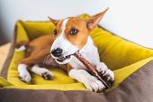 Portrait Lovely Basenji Puppy Dog Enjoying His Treat In Puppy Mat At White Wall Background. poster