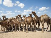 stock photo of dromedaries  - Dromedary camel livestock ready to be traded at a traditional african market - JPG