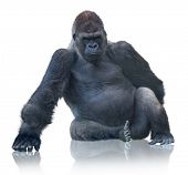 pic of gorilla  - Silverback Gorilla Sitting Isolated On White Background - JPG