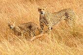 stock photo of cheetah  - African Cheetahs  - JPG