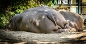 image of schoenbrunn  - Photo from Back side of two resting hippos,Zoo Schoenbrunn,Vienna,Austria.