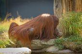 image of schoenbrunn  - Orang-Utan (Pongo pygmaeus) in Zoo Schoenbrunn, Vienna,Austria. ** Note: Slight blurriness, best at smaller sizes - JPG
