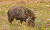 picture of javelina  - Peccary or Javelina feeding - JPG
