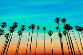 stock photo of row trees  - California sunset Palm tree rows in Santa Barbara US  - JPG