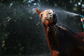 picture of fillies  - Red horse being washed with hose in summer - JPG