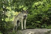pic of wolf-dog  - A timber wolf in a forest environment - JPG