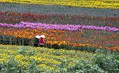 stock photo of dong  - Vietnamese women working in a flower farm in Dalat city - JPG