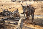 picture of eland  - Eland Taurotragus oryx Is The Largest Of All Antelopes - JPG