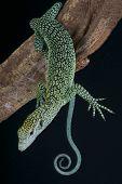 foto of monitor lizard  - The Biak tree monitor is endemic to Biak island - JPG