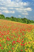 stock photo of rape-seed  - poppy flowers in a field of oil seed rape or conola
