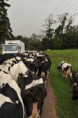 stock photo of moo-cow  - Diary cows walking on a road blocking traffic flow - JPG