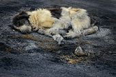 picture of ashes  - Dirty abandoned dog sleeping in the ash - JPG