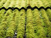 picture of green algae  - Green moss growing on old roof tiles - JPG