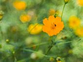pic of cosmos  - Sulfur Cosmos or Yellow Cosmos on soap bubble bokeh backbround - JPG
