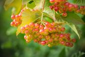 picture of rowan berry  - Mountain ash - JPG