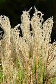 picture of pampas grass  - Beautiful American pampas grass in a garden - JPG