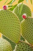 stock photo of prickly-pear  - Prickly pear cactus with fruit in purple color cactus spines - JPG