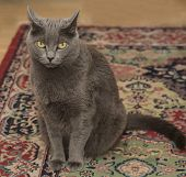 picture of maliciousness  - Gray Cat sitting and looking mad - JPG