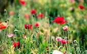 picture of opium  - Opium poppy flower at angkhang mountain Thailand - JPG