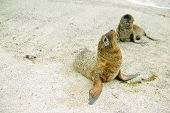 foto of sea lion  - baby sea lions in san cristobal galapagos islands ecuador - JPG