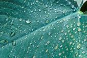 picture of raindrops  - Raindrops on leaves used as nature background - JPG
